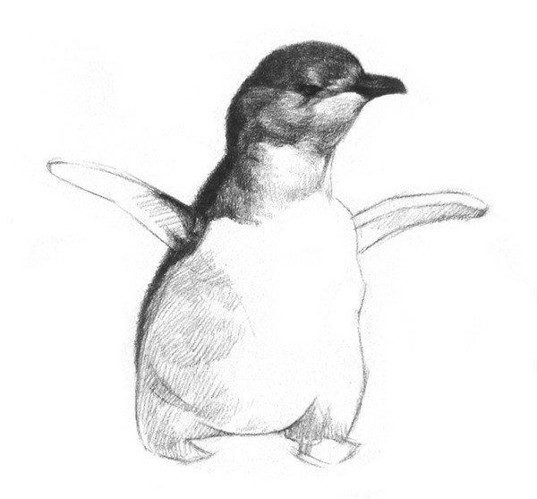 """6、刻画脸颊和脖子。小企鹅身上的毛很短,几乎看不出是怎么生长的,所以用笔也要短一点。  素描企鹅的绘画步骤教程六 7、刻画肚子下面的部分,其明暗变化比较强烈。  素描企鹅的绘画步骤教程七 8、为翅膀底下打上阴影,靠近边缘的地方画轻一点、虚一点,再简单画一下脚,小企鹅就完成了。  素描企鹅的绘画步骤教程八 企鹅能在-60的严寒中生活、繁殖。在陆地上,它活像身穿燕尾服的西方绅士,走起路来,一摇一摆,遇到危险,连跌带爬,狼狙不堪。可是在水里,企鹅那短小的翅膀成了一双强有力的""""划桨"""",游速"""