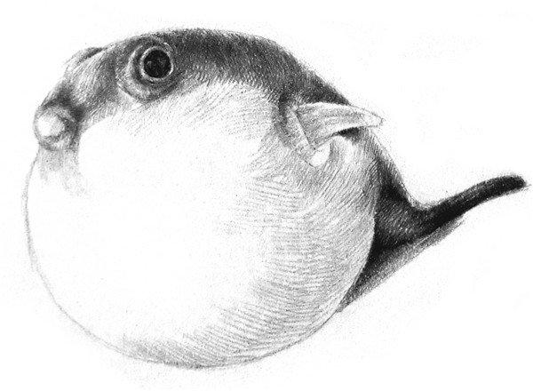 素描动物小河豚的绘画步骤教程(3)