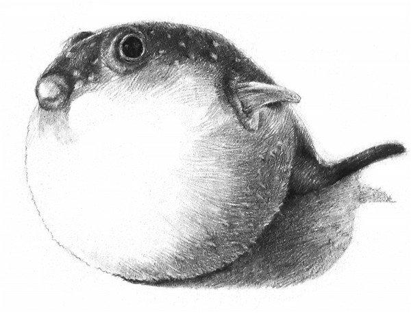 素描动物小河豚的绘画步骤教程(4)