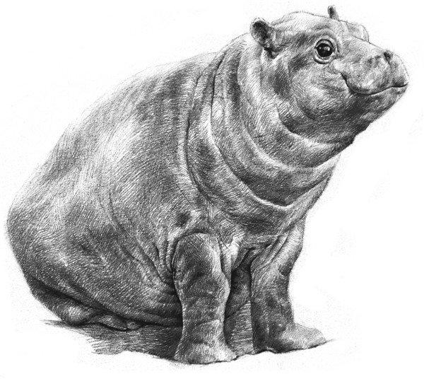 学画画 素描教程 素描动物 > 素描小河马步骤教程      河马是淡水