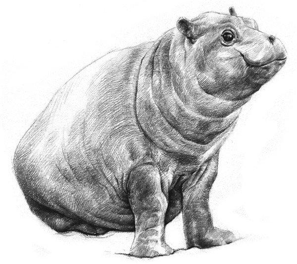 学画画 素描教程 素描动物 > 素描小河马步骤教程(4)      8,绘制两条