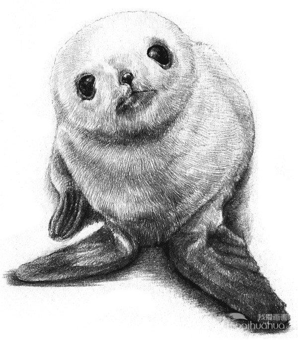 素描动物 素描小海豹的绘画步骤教程 素描教程 学画画 我爱画画网