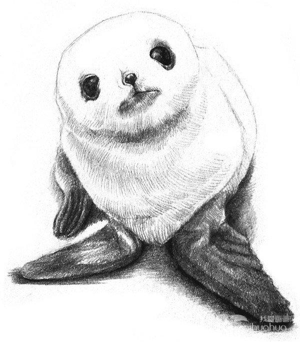 素描动物:素描小海豹的绘画步骤教程(3)
