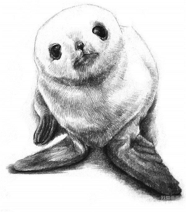 素描动物:素描小海豹的绘画步骤教程(4)