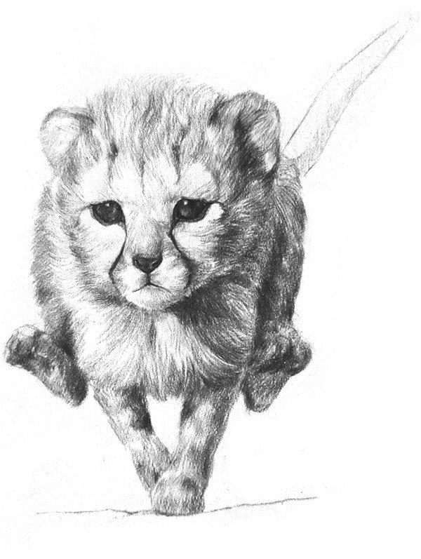 学画画 素描教程 素描动物 > 素描小猎豹入门绘画教程(3)      7,先从