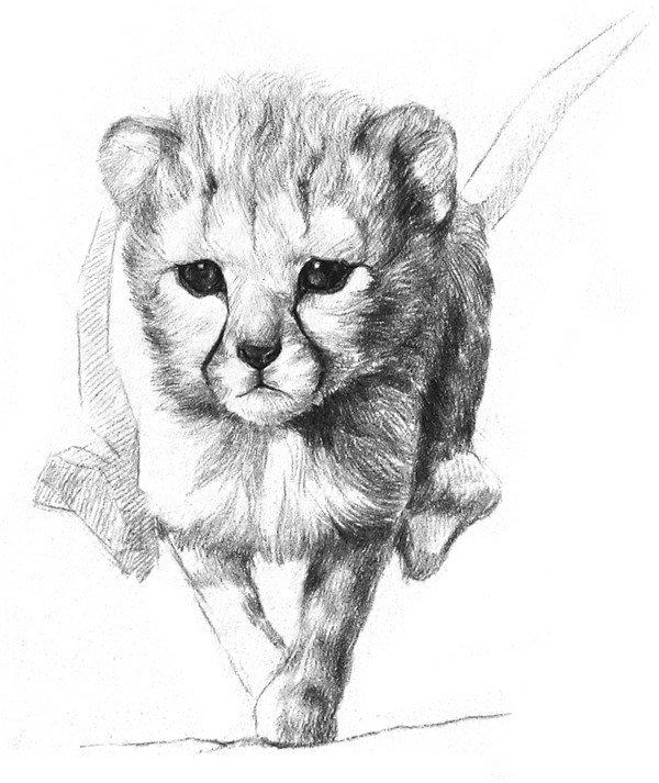 学画画 素描教程 素描动物 > 素描小猎豹入门绘画教程(3)      6,继续