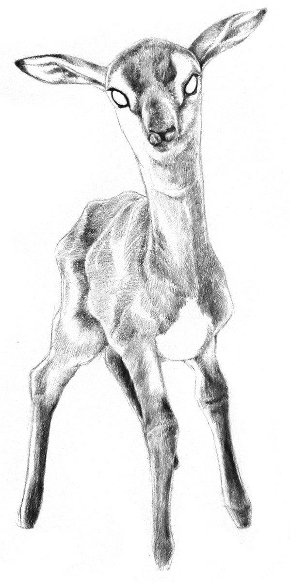 素描小鹿的绘画步骤四