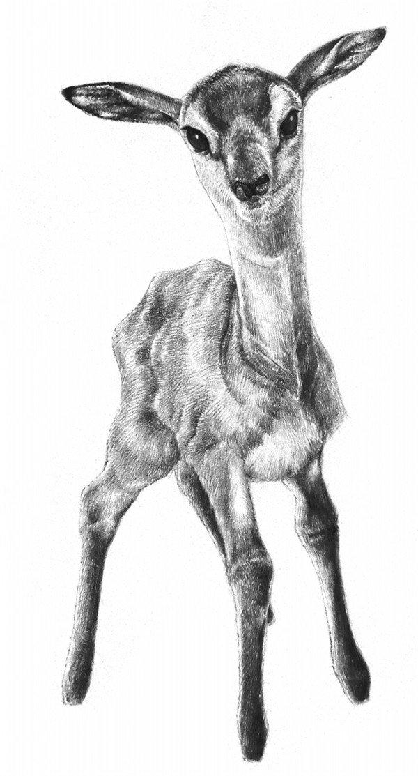 学画画 素描教程 素描动物 > 素描小鹿的绘画技法(6)