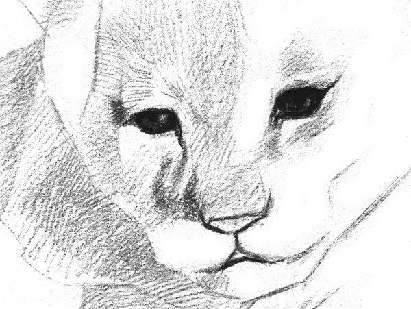 4、从眼睛开始刻画。眼珠子的边缘和中间瞳孔的颜色最深,其他地方稍亮一些。  素描小狮子的绘画步骤四 5、为鼻尖打上深色。由鼻子向外眼的毛发生长方向排线,胸前靠近脸的毛发画深一点,让脸部凸显出来。  素描小狮子的绘画步骤五