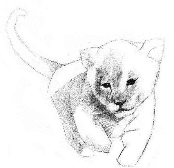 素描小狮子的绘画步骤五