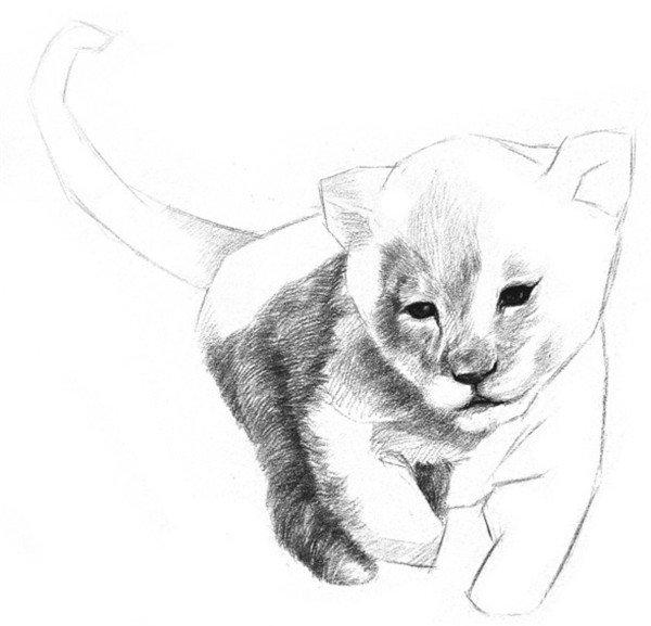 6、这次从较深的后腿开始绘制。毛发是向后生长的,排线方向沿着毛发生长的方向,边缘的地方用笔轻一些,擦掉之前绘制的轮廓线。  素描小狮子的绘画步骤六 7、在尾巴、前腿和胸前部位都画上毛发。尾巴上的毛由根部向尾尖画去,胸前的毛比后腿的颜色浅。  素描小狮子的绘画步骤七  素描小狮子的绘画步骤七-1