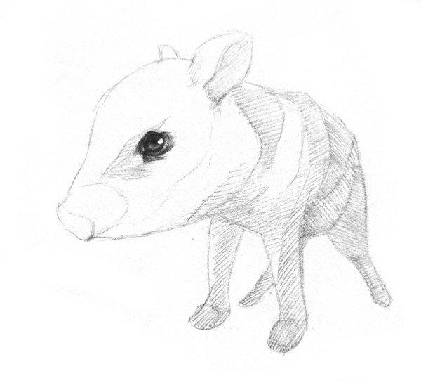 学画画 素描教程 素描动物 > 素描小野猪的绘画技法(2)      素描小
