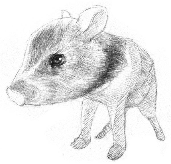 素描小野猪的绘画步骤六