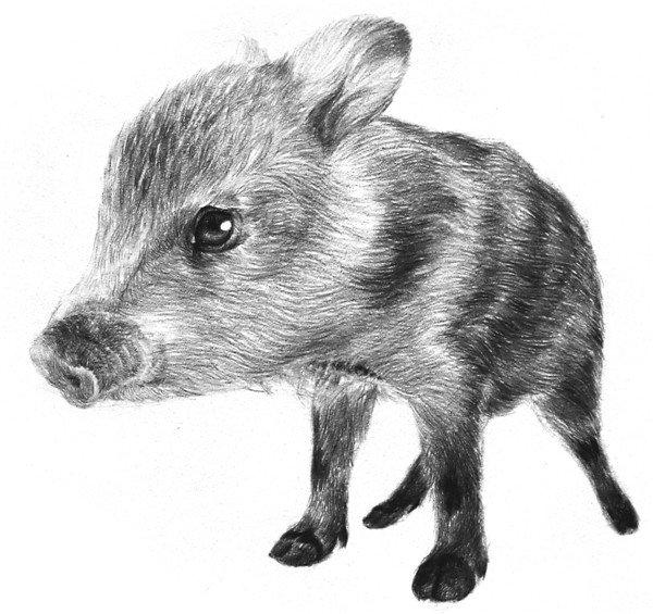 1、轻轻打形,初步画出小野猪的头、身子和四肢的轮廓,在脸上画出脸部的中心线,初步定出眼睛的位置。  素描小野猪的绘画步骤一 2、细致描绘一遍身体轮廓,用大根细线准确描出来。  素描小野猪的绘画步骤二