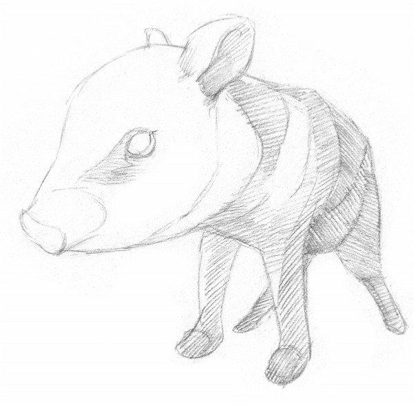 素描小野猪的绘画技法 2