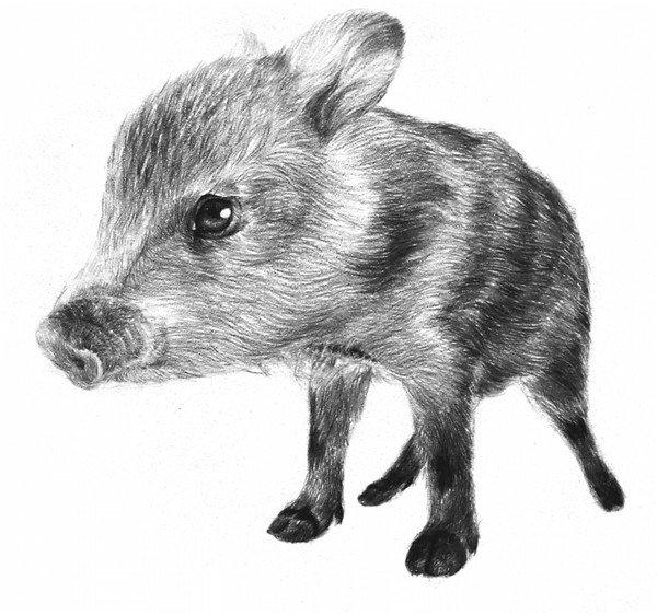 素描小野猪的绘画技法 4