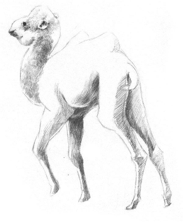 素描教程 素描动物 > 素描小骆驼的绘画技法(2)      3,小骆驼的眼睛