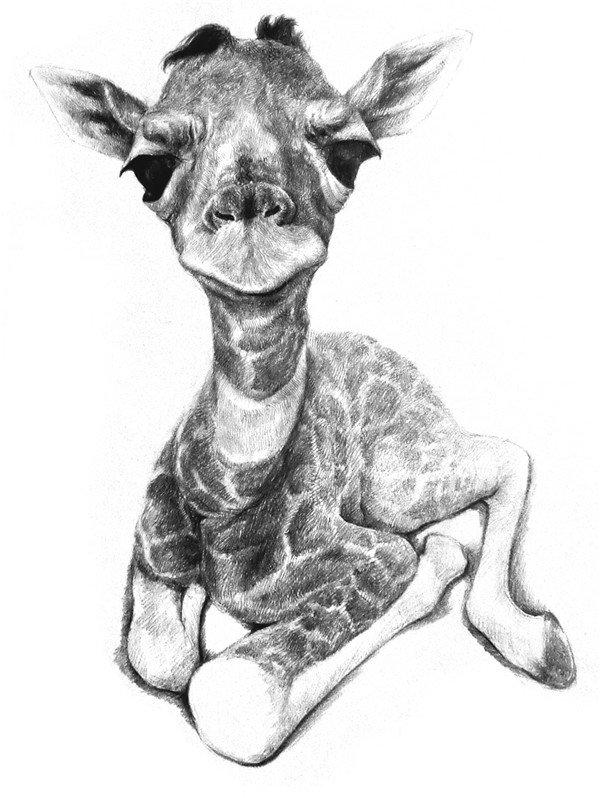 素描长颈鹿的绘画步骤七