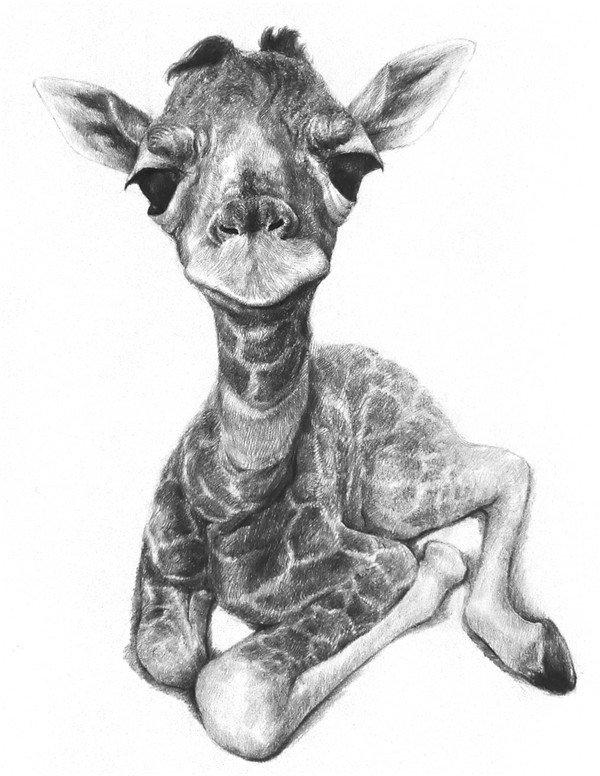 素描长颈鹿的绘画步骤八