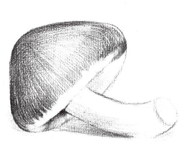 素描雨伞菇的绘画步骤五