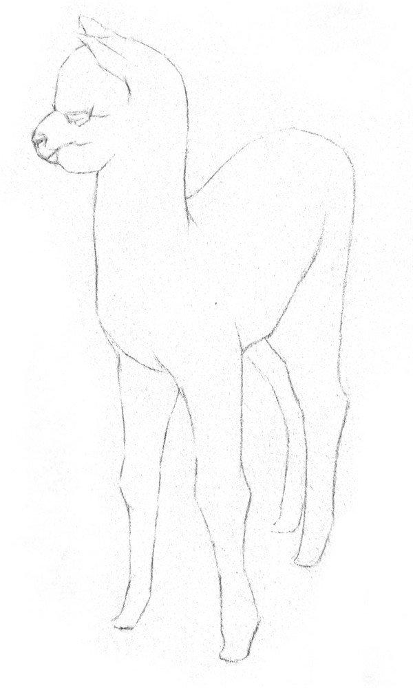 素描羊驼的绘画步骤二