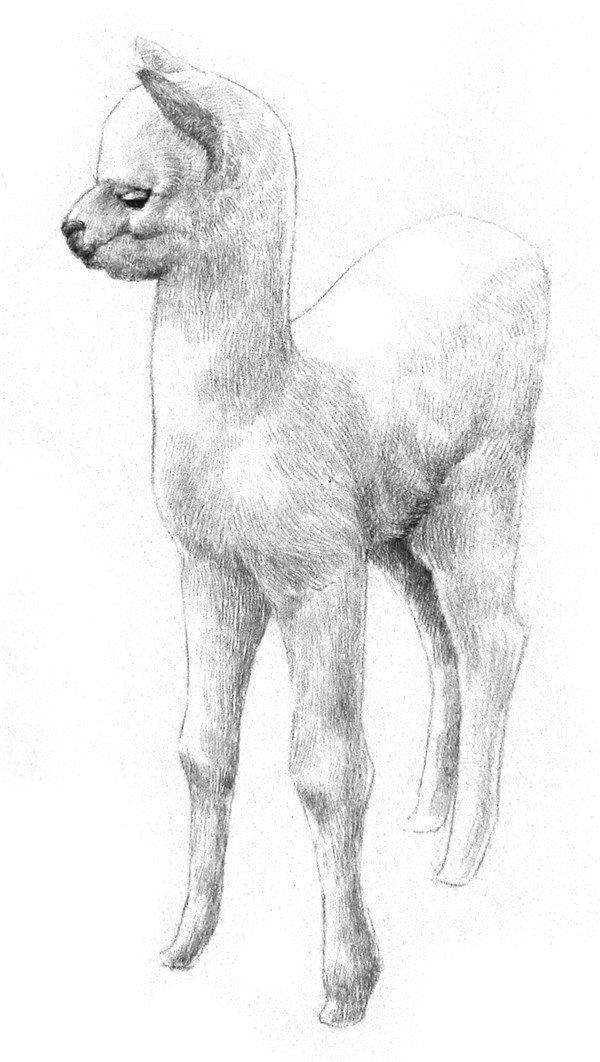 学画画 素描教程 素描动物 > 素描羊驼的绘画教程(3)      4,把眼睛