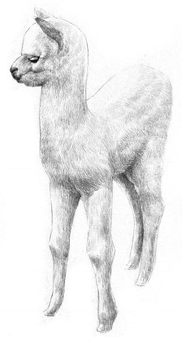 学画画 素描教程 素描动物 > 素描羊驼的绘画教程(4)      6,以同样的