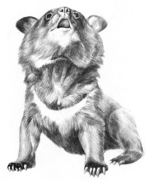 素描动物 > 素描小灰熊的绘画技法(4)      7,刻画五官和脚掌.