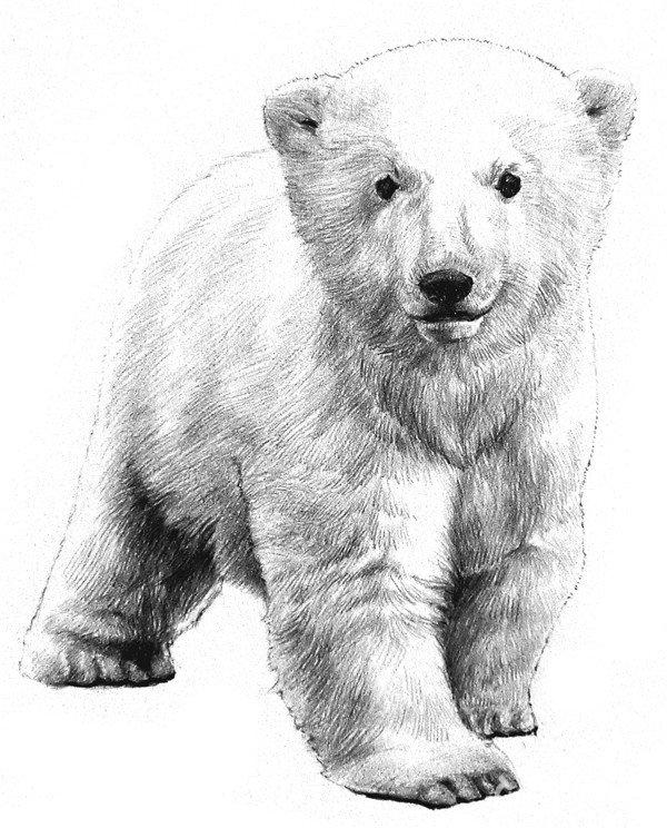 素描小北极熊的绘画步骤