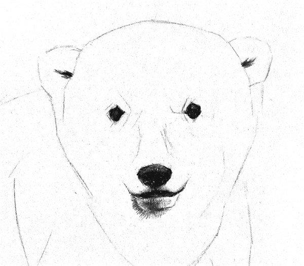 1、画出小北极熊的大致轮廓,在脸部中心画上十字线。小北极熊的腿比较粗,耳朵较小,脸比较圆。  素描小北极熊的绘画步骤一 2、细致描绘出身体的轮廓和五官,腹部、胸前等地方需要加上一些结构线,小北极熊的眼睛比较小。  素描小北极熊的绘画步骤二 3、刻画五官。眼睛涂黑就可以了,鼻尖顶部稍亮些,表现出鼻尖的转折,下嘴唇靠下的地方别忘了添加反光。  素描小北极熊的绘画步骤三