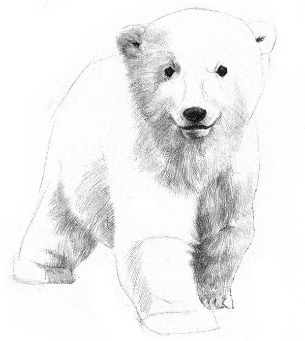 学画画 素描教程 素描动物 > 素描小北极熊的绘画教程(3)      4,在脸