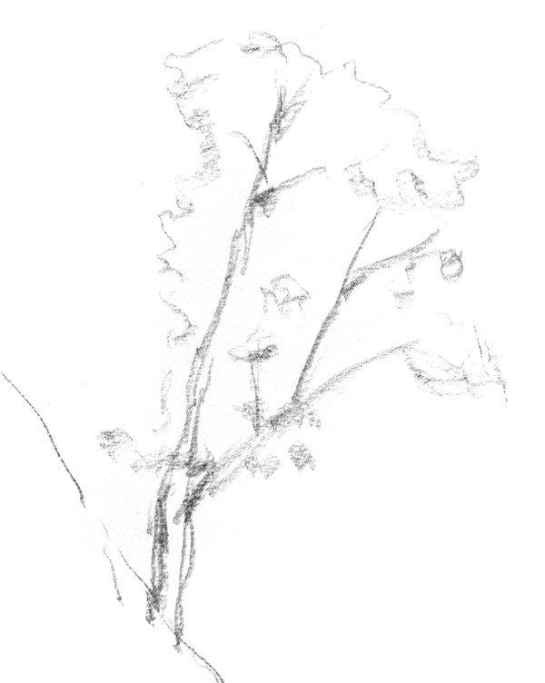 速写杉树的画法步骤一