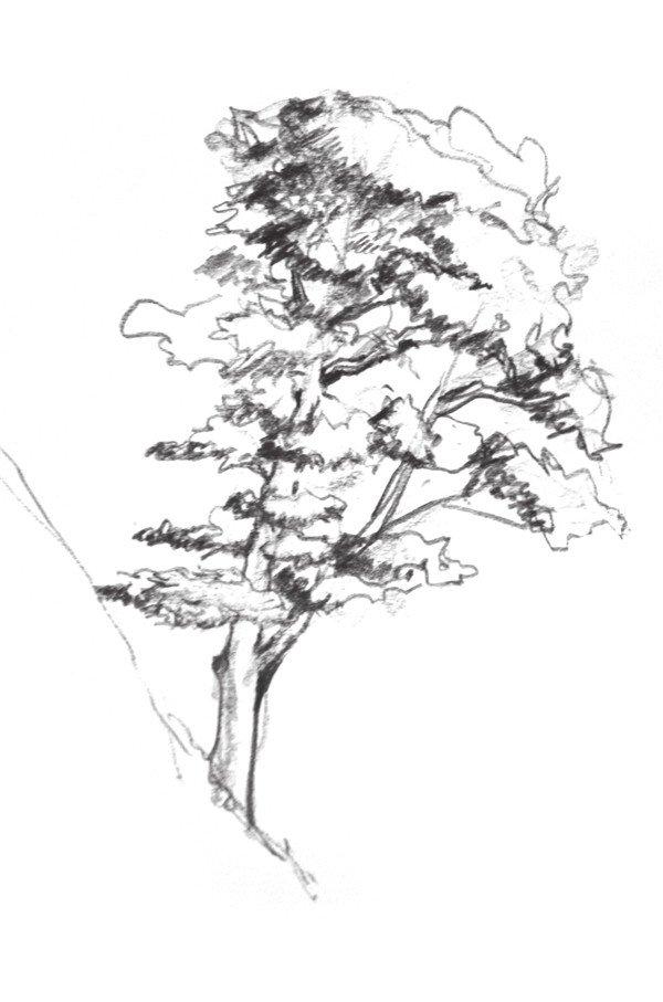 速写杉树的画法步骤四