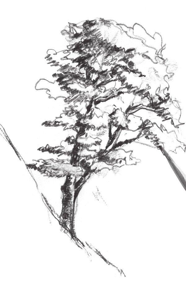 速写杉树的绘画技法(3)图片
