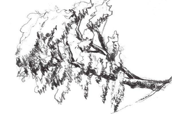 速写杉树的绘画技法