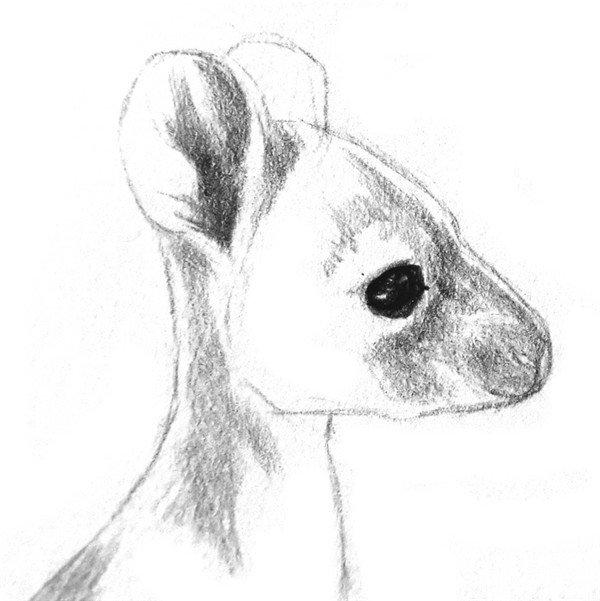 素描动物 > 素描动物小袋鼠的绘画步骤教程(2)      4,刻画一下眼睛