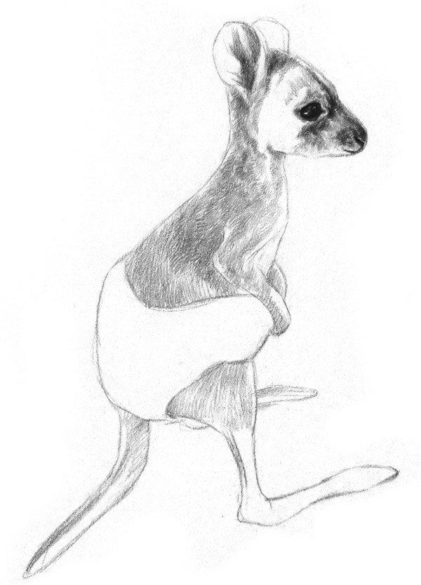 素描动物小袋鼠的绘画步骤教程(2)