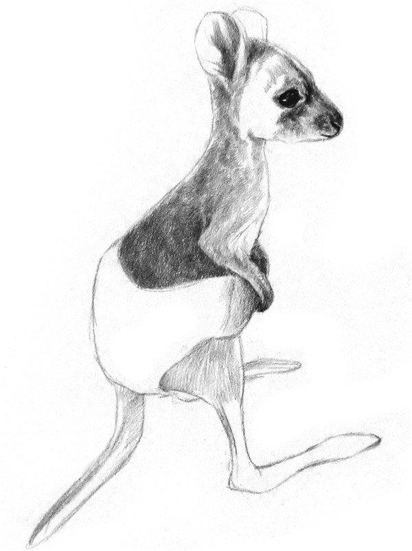 素描动物小袋鼠的绘画步骤教程 3图片