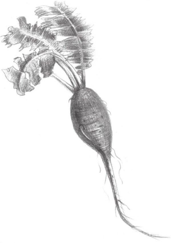 素描红萝卜的绘画步骤图片