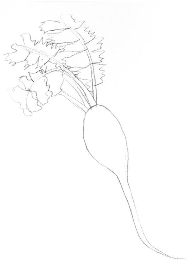 素描红萝卜的绘画步骤