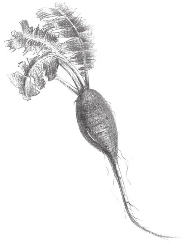 素描红萝卜叶子图片