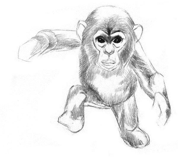 猩猩的眼窝比较深,画的时候把眉骨加深一些,猩猩和其他动物一样,也是