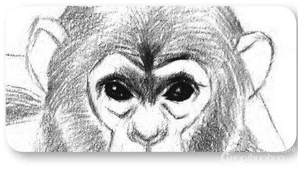 学画画 素描教程 素描动物 > 素描猩猩宝宝的绘画步骤(3)      素描猩