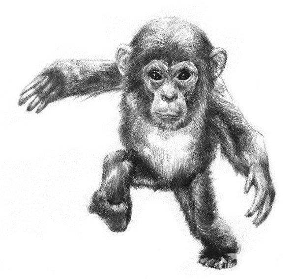 11、刻画一下手脚和耳朵,区分出手指和脚趾。每根手指和脚趾都有明暗变化,不要画平了。 素描猩猩宝宝的绘画步骤十一 12、整体再调整一下,加深暗部,在腹部和头顶的亮部画上浅色的毛发,加深脚掌和地面接触的地方