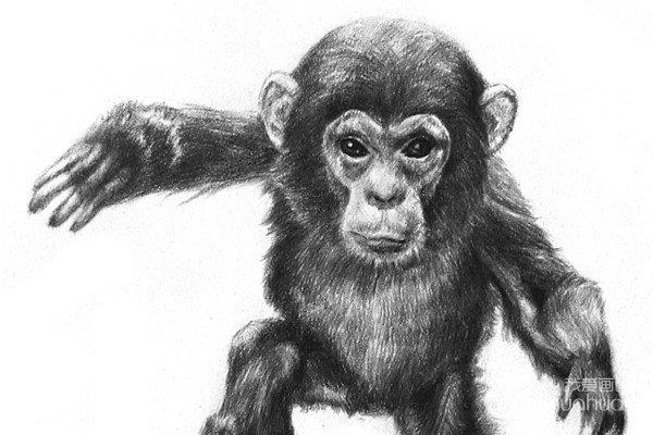 素描猩猩宝宝的绘画步骤