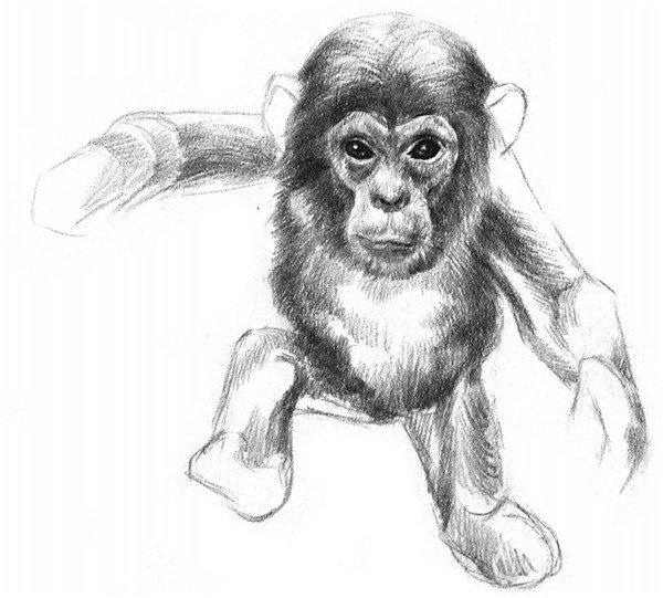 素描猩猩宝宝的绘画步骤(4)