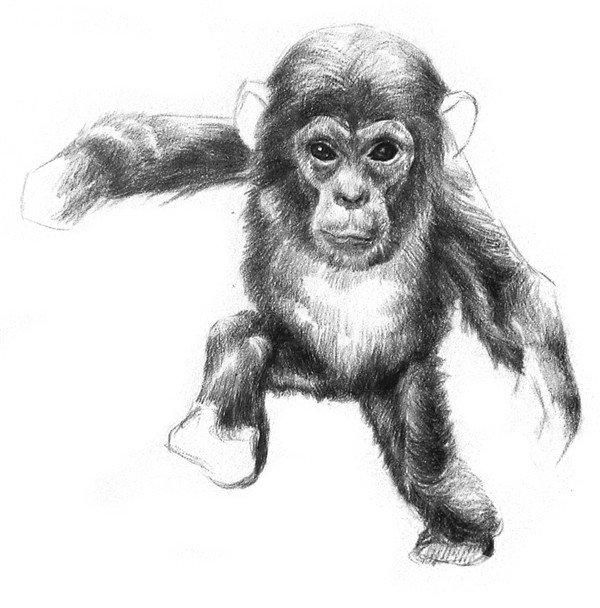 学画画 素描教程 素描动物 > 素描猩猩宝宝的绘画步骤(5)      9,画出