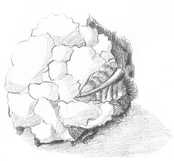 5,加重菜花叶子的固有色,注意前后关系的区分.