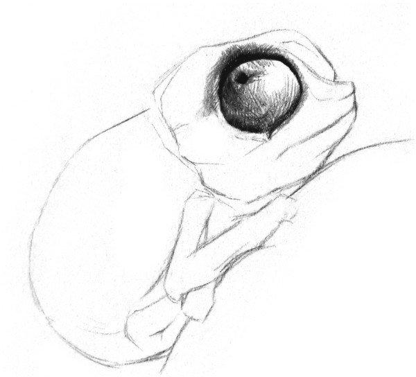 素描小变色龙的绘画步骤(2)