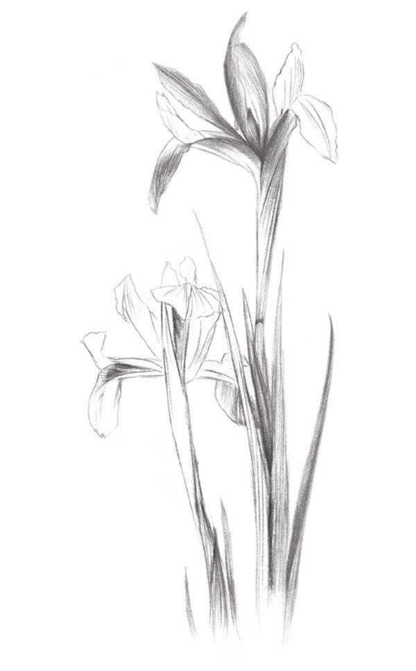 素描画图片大全花朵-素描紫罗兰的绘画教程 2图片